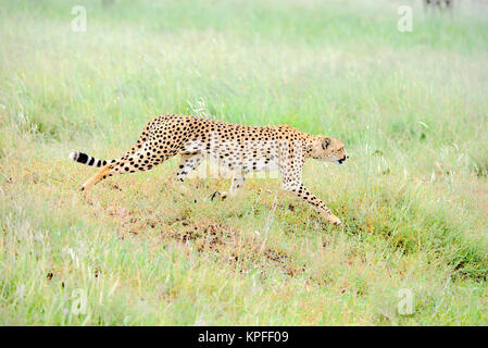 Wildlife sightseeing in one of the prime wildlife destinations on earht -- Serengeti, Tanzania. Male cheetah on - Stock Photo