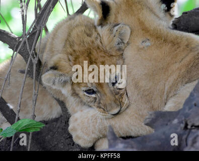 Wildlife sightseeing in one of the prime wildlife destinations on earht -- Serengeti, Tanzania. Cuddling lion cubs. - Stock Photo