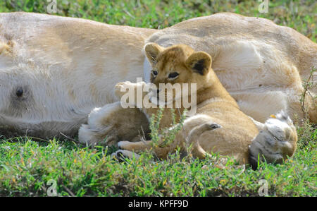 Wildlife sightseeing in one of the prime wildlife destinations on earht -- Serengeti, Tanzania. lioness with small - Stock Photo