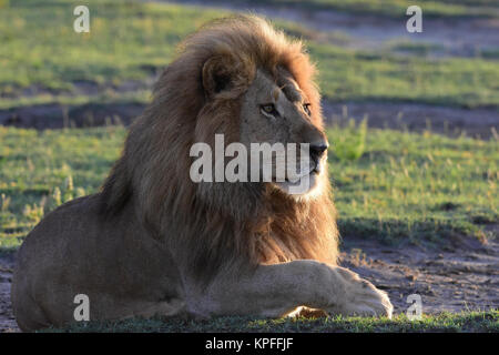 Wildlife sightseeing in one of the prime wildlife destinations on earht -- Serengeti, Tanzania. Handsome male lion - Stock Photo