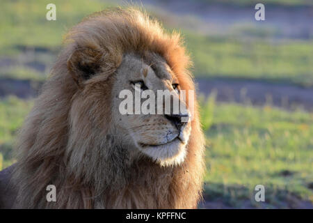 Wildlife sightseeing in one of the prime wildlife destinations on earht -- Serengeti, Tanzania.Staring maned lion. - Stock Photo