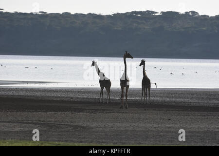 Wildlife sightseeing in one of the prime wildlife destinations on earth -- Serengeti, Tanzania. Giraffe silhouette - Stock Photo
