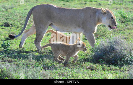 Wildlife sightseeing in one of the prime wildlife destinations on earht -- Serengeti, Tanzania. Lioness walking - Stock Photo