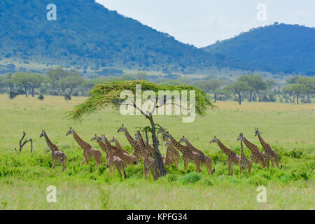 Wildlife sightseeing in one of the prime wildlife destinations on earht -- Serengeti, Tanzania. Big herd of giraffe. - Stock Photo