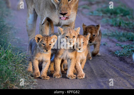 Wildlife sightseeing in one of the prime wildlife destinations on earht -- Serengeti, Tanzania. Lioness with 5 small - Stock Photo