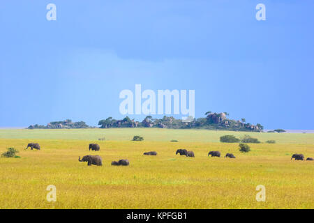 Wildlife sightseeing in one of the prime wildlife destinations on earht -- Serengeti, Tanzania. Herd of elephants - Stock Photo