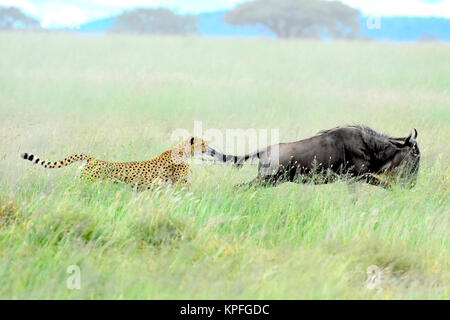 Wildlife sightseeing in one of the prime wildlife destinations on earht -- Serengeti, Tanzania. Cheetah chasing - Stock Photo