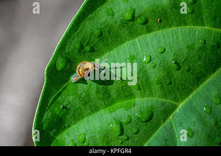 Baby snail on a wet leaf. - Stock Photo