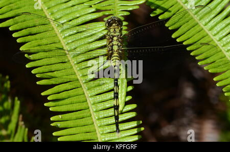 Green dragonfly on leaf. - Stock Photo