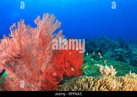 Brilliant red sea fans (Melithaea sp. ), Komba Island, Flores Sea, Indonesia - Stock Photo