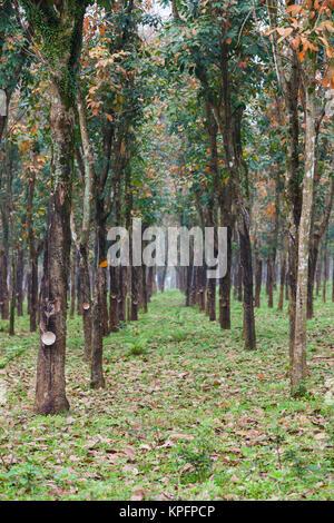 Vietnam, DMZ Area. Quang Tri Province, rubber tree plantation - Stock Photo