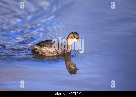A Little Grebe on blue water - Stock Photo