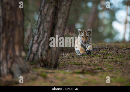 Royal Bengal Tiger ( Panthera tigris ), young cub, lying on the ground of a forest, playing with ist paws, looks cute and funny, frontal shot.