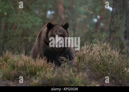 European Brown Bear ( Ursus arctos ), strong and powerful adult, standing at the edge of a boreal forest, at a clearing, - Stock Photo
