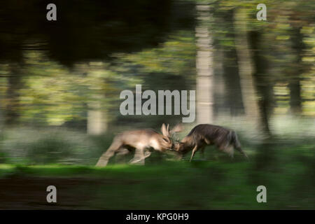 Fallow Deer ( Dama dama ) fighting, in hard fight, locking horns during rutting season, in the midst of a forest, - Stock Photo