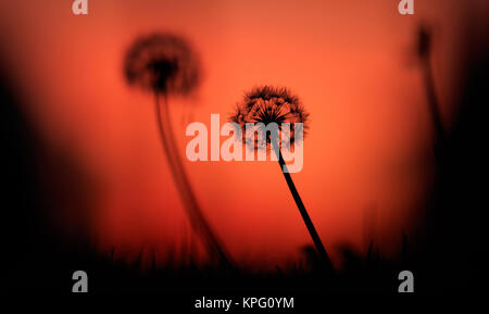 Dandelions silhouettes at sunset, orange sky background - Stock Photo