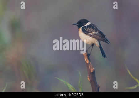 The Siberian stonechat or Asian stonechat (Saxicola maurus)  in winter morning at Pune, India - Stock Photo
