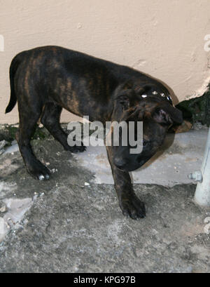 Staffie puppy - Stock Photo