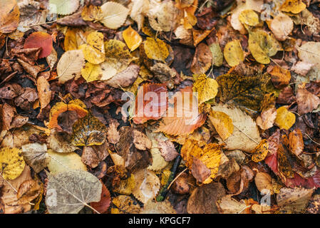 Multicolored wet leaves after a rain. Autumn milking. Drops of water on the leaves. Beautiful background of leaves - Stock Photo