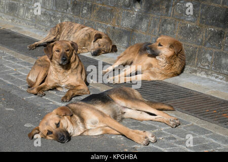 Pack of healthy looking street dogs relaxing in the sun in Shimla, India - Stock Photo