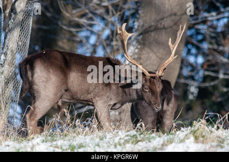 Fallow deer grazing in the Phoenix Park in Dublin on a beautiful snowy winter morning on the first day of the New - Stock Photo