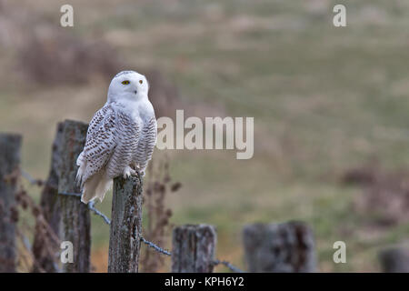 Snowy Owl on fence post - Stock Photo