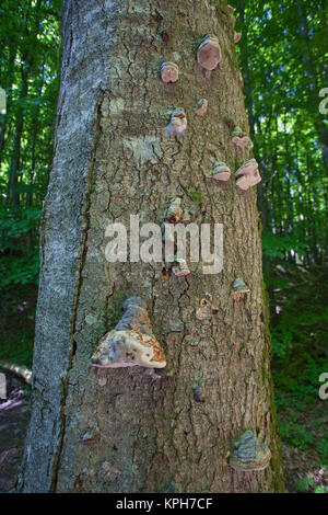 Beech with agaric (fungus) at Jasmund National park, Ruegen island, Mecklenburg-Western Pomerania, Baltic Sea, Germany, - Stock Photo