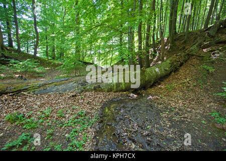 Beech forest, Jasmund National park, Ruegen island, Mecklenburg-Western Pomerania, Baltic Sea, Germany, Europe - Stock Photo