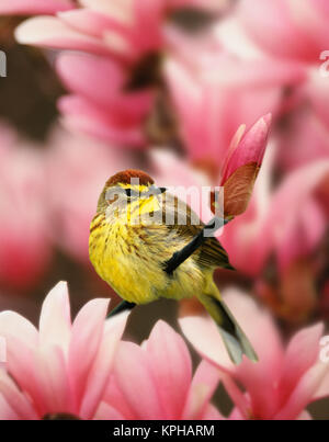Male Palm Warbler in magnolia tree, Dendroica palmarum - Stock Photo