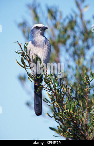 Florida. Scrub Jay (Aphelocoma coerulescens) - Stock Photo