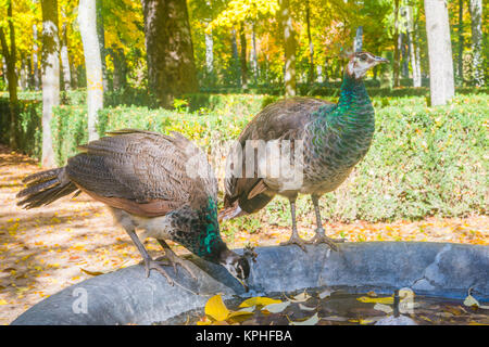 Two female peacocks drinking water in a fountain. Aranjuez, Madrid province, Spain. - Stock Photo