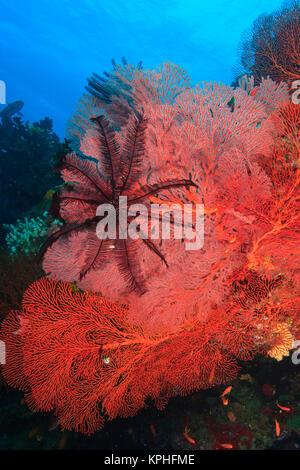 Pristine Gorgonian Sea Fans and crinoids, Bligh Water, Viti Levu, Fiji, South Pacific - Stock Photo