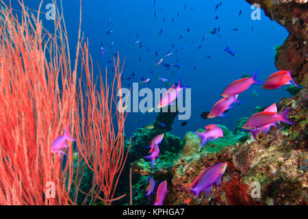 Whip Coral & Fairy Basslets (Pseudanthias tuka) Milne Bay, Papua New Guinea - Stock Photo