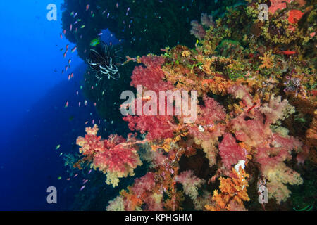 profuse Soft Corals (Dendronepthya sp.), Peliliu Wall, Palau, Micronesia - Stock Photo
