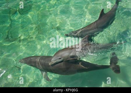 Bottlenose Dolphins (Tursiops truncatus) Caribbean Sea near Roatan, Honduras - Stock Photo