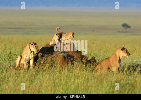 Lioness with cubs resting on anthill on grassland plains of Maasai Kopjes near Seronera, Serengeti, Tanzania - Stock Photo