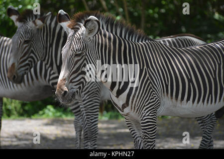 Grévy's zebra (Equus grevyi), also known as the imperial zebra Miami, Florida, USA - Stock Photo