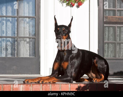 A Doberman Pinscher lying on a red brick patio in front of a house. - Stock Photo