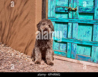 Lagotto Romagnolo waiting by a blue door. - Stock Photo