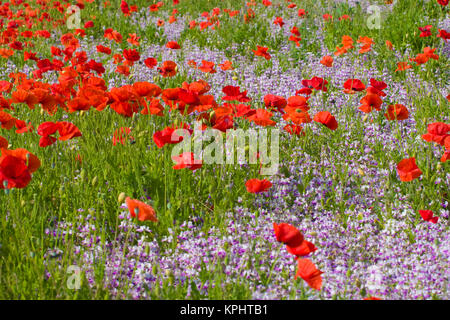 Poppies and wildflowers, Willamette Valley, Oregon, USA - Stock Photo