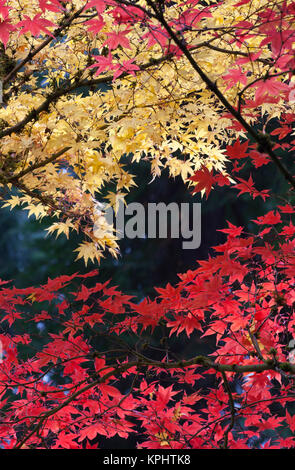 Maple trees in autumn color, Portland Japanese Garden, Oregon - Stock Photo
