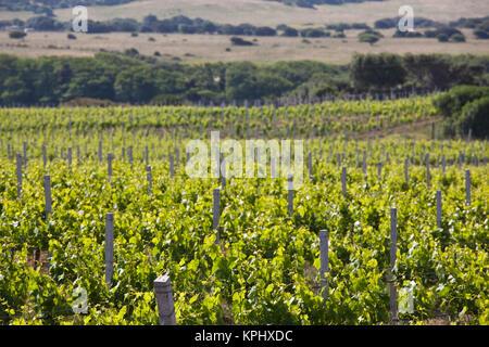 Italy, Sardinia, Vignola Mare. Artisanal vineyard. - Stock Photo