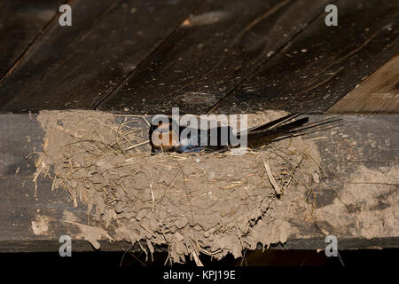 Rauchschwalbe, Rauch-Schwalbe, Rauch - Schwalbe, brütend im Lehmnest, Nest an Holzbalken in einem Stall, Hirundo - Stock Photo