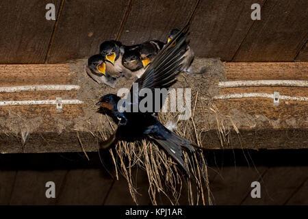 Rauchschwalbe, Rauch-Schwalbe, Rauch - Schwalbe, Altvogel füttert Küken in ihrem Lehmnest, Nest, Hirundo rustica, - Stock Photo