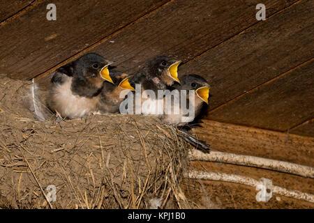 Rauchschwalbe, Rauch-Schwalbe, Rauch - Schwalbe, Küken sperrend, bettelnd im Lehmnest, Nest an einem Holzbalken - Stock Photo