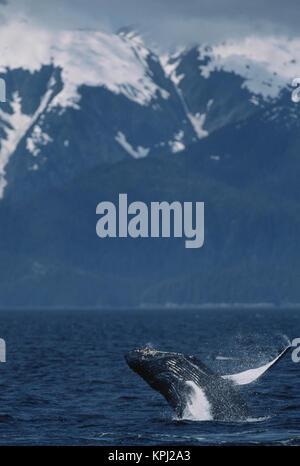 South East Alaska, Inside Passage, Humpback whale breaching - Stock Photo