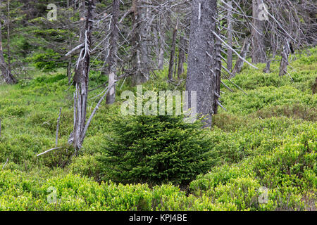 Sapling among spruce trees in ancient coniferous forest in the Harz National Park, Saxony-Anhalt, Germany - Stock Photo