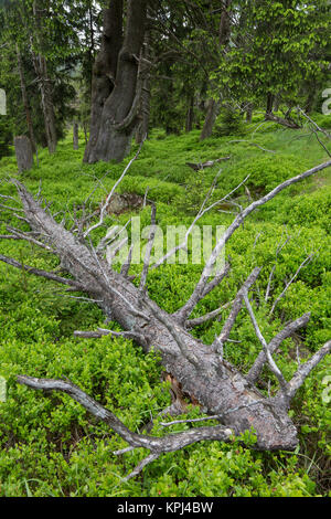 Fallen spruce tree in ancient coniferous forest in the Harz National Park, Saxony-Anhalt, Germany - Stock Photo