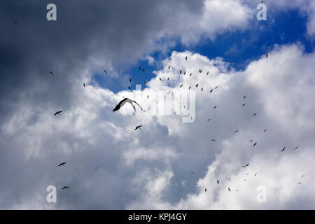 Yellow billed storks in flight over Mto wa Mbu in the great rift valley near Manyara National Park. - Stock Photo