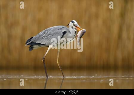 Grey heron (Ardea cinerea), stands in the water with prey fish in the beak, National Park Kiskunsag, Hungary - Stock Photo